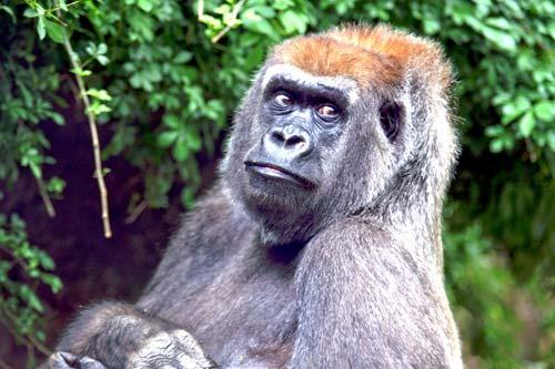 Congo Gorilla At The Bronx Zoo Empire State Magazine Your Guide